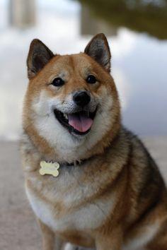 Beautiful Shiba Inu smiling.