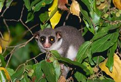 fat-tailed dwarf lemur