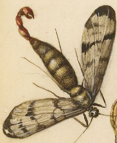 Scorpionfly, Insect, Lizard, and Insect Larva (detail), Joris Hoefnagel, Georg Bocskay, 1591-96, script 1561-62