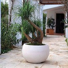 White egg bowl with multi headed ponytail palm