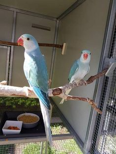 Colorful Parrots, Colorful Birds, Rare Birds, Exotic Birds, Ring Necked Parakeet, Animals And Pets, Cute Animals, Cute Baby Boy Images, African Grey Parrot