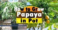 Papaya or pawpaw is a sweet delicious and tropical fruit that detoxifies the body. Papaya can be grown in pots too, with some care in winters you can also grow it in colder parts.