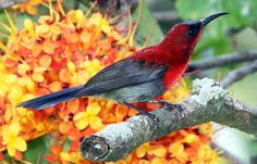 Crimson Sunbird, Malaysia, by Chong Lip Mun, via Flickr.
