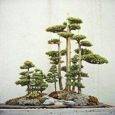 A Foemina Juniper Bonsai Tree. Bonsai's come in many different varieties, each with their own beautiful style. Jardin Zen Miniature, Miniature Trees, Bonsai Tree Care, Indoor Bonsai Tree, Bonsai For Beginners, Bonsai Pruning, Bonsai Forest, Plantas Bonsai, Juniper Bonsai