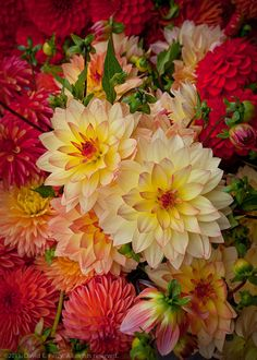 obsessed with dahlias!