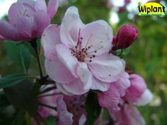 Malus 'Aamurusko', prydnadsäppel. Ljusrosa halvdubbla blommor. Gröna blad. Höjd: 2-5 m.