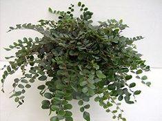 Button Fern House Plant Care Tips - Pellaea rotundifolia