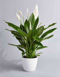 Peace Lily Air Purifying Plant - Easy Care Houseplant, Housewarming, Birthday Present, Gift for Her, - Jardinería en macetas - Plants Water Plants, Cool Plants, Green Plants, Live Plants, Potted Plants, Peace Lily Plant, Peace Lily Indoor, Peace Lily Care, Buy Plants Online