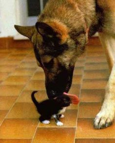 German Shepard with Kitten by greenlinking.com, via Flickr