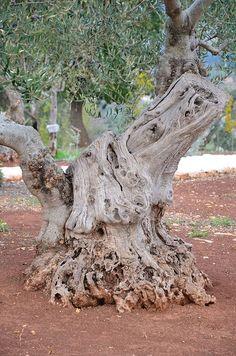 Puglia bölgesindeki ♥ 1000 yıllık zeytin ağaçları