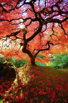 Autumn in Japanese Maple tree - Portland Japanese Garden, Oregon.