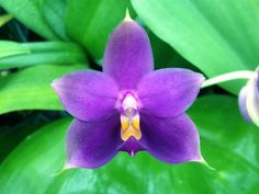 RARE BLUE PHAL ORCHID SPECIES violacea f. cuerulea 'Springwater' AM/AOS STEMPROP