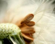 Macro photography of a dandelion flower