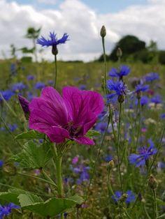 www.wildblumenpfad.de - Die Malve