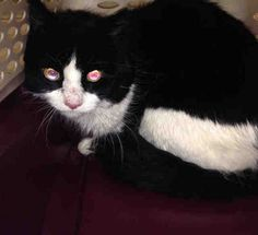 A1100819 FLAKY Super Urgent Manhattan - FLAKY - #A1100819 - MALE BLACK/WHITE DMH MIXDue Out .....- TENSE, NERVOUS, HISSING, RESISTED HANDLING - 7 year old Flaky's owner died and he now needs a new home.