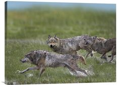 Gray Wolf Trio Running Through Water, North America http://www.explosionluck.com/products/gray-wolf-trio-running-through-water-north-america