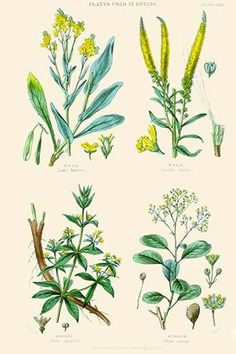 Plants used in dyeing. Woad, Weld, Madder, Sumach