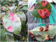 Pytanie czytelnika: Jak pozbyć się plam na liściach gruszy? Na liściach pojawiły się różowe plamy, które szybko się rozprzestrzeniają. ... Plant Leaves, Plants, Plant, Planets