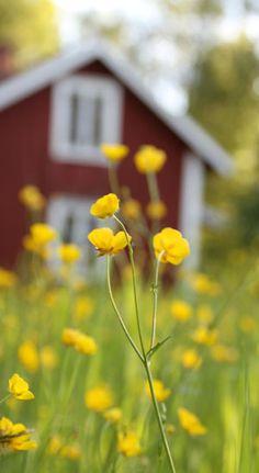 Buttercups in Sweden