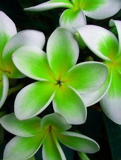 Green Frangipani