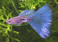 Guppy Strains Library – Page 2 – Guppies Onli Tropical Freshwater Fish, Tropical Fish Aquarium, Freshwater Aquarium Fish, Guppy, Aquariums, Aquascaping, Fish Jumps, Cool Fish, Fishing Photography