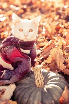 "autumncozy: "" Cats in scarves in the fall. """