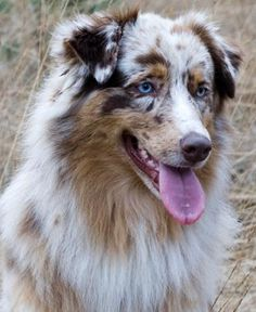 If i ever get an Australian shepherd I'll name it either Lyra after the constellation or Rorschach after the DC Comic's protagonist in Watchmen