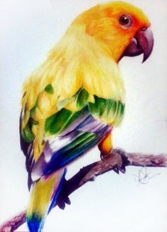 ORIGINAL Sun Parakeet Drawing 15x11 Watercolor Paper by dezyc