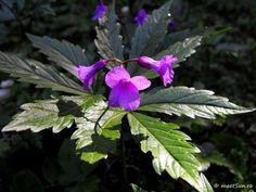 floare mov Clematis, Iris, Indigo, Nature, Plants, Journal, Irises, Flora, Journal Entries