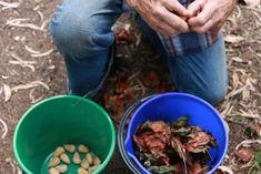 Gathering bunya nut bush tucker. Little eco footprints