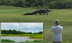 Monster alligator stuns golfers by strolling across Florida golf course | Daily Mail Online