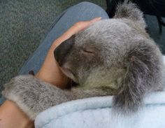 Koala joey having a nap on my lap. His mum was killed on the road and he is now raised by a human carer.
