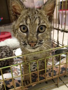 Welcome Big Cat Rescue's newest bobcat kitten.  Find his rescue story at http://bigcatrescue.org/2012/today-at-big-cat-rescue-feb-18-welcome-to-new-bobcat-kitten