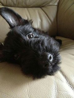 Miss Pickles ( Owner Jane Tan - For the Love of Scotties )