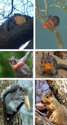 Have YOU Tried the New All-Junk-Food Squirrel Diet?  THIS is the reason for the squirrel obesity epidemic!- Cheezburger