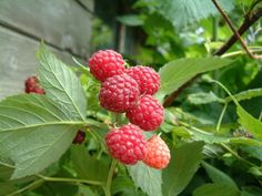 Raspberries  I recently learned that raspberries can be grown in pots. Growers produced these miniature berry plants called BrazelBerries which are perfect for container gardens. Look for them at your local garden center or order online.