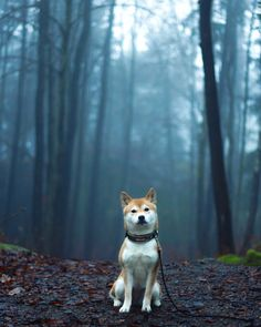 The Shiba is the smallest of the dogs native to Japan. In his homeland, the Shiba is officially recognized as a precious natural product. Cute Dogs Breeds, Dog Breeds, Chien Shiba Inu, Pet Dogs, Dog Cat, Doggies, Weiner Dogs, Panda Bebe, Japanese Dogs