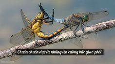 Chuồn chuồn đực là những tên cưỡng bức giao phối