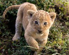 Lion Cub Curio !!