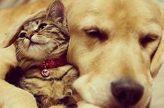 An Inspiring Friendship Between A Golden Retriever And A Kitten