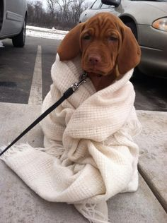Vizsla puppy #puppy #adorable
