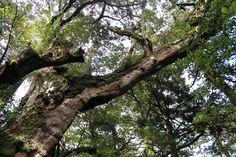 竜の如く枝を伸ばす、大竜杉。