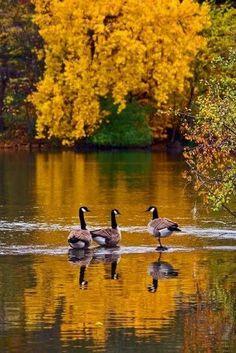 Canada Geese Wading ~ Cristina Aroni