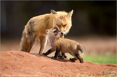 Ian Murray Nova Scotia, Canada Baby Animals, First Place Playful and intimate, this moment between a young red fox and its mother...  National Wildlife Photo Contest-Baby