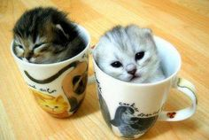 Funny Kittens how did they get in the cup tea anyone.