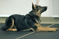 Dog Training Photo - Dog in Down Stay Position