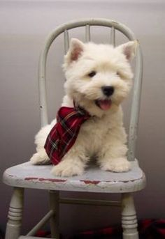 Adorable! Swore my next dog would be a Westie........hmmmph, i got duped.