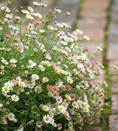 Buy Erigeron karvinskianus from Sarah Raven: This perennial self sows into crannies to make great curtain effects on steps, paths and walls. Meadow Garden, Cottage Garden Plants, Garden Pots, Cottage Garden Borders, Common Garden Plants, Garden Seeds, Little Plants, All Plants, Back Gardens
