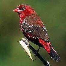 นกกระติ๊ดแดง นกประจำถิ่นพบไม่บ่อยนัก - วิกิพีเดีย