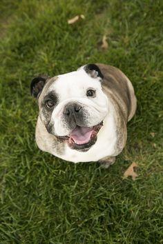 Happy Tails: Walter and Dumplin' the English Bulldogs - Daily Dog Tag Bulldogs Ingles, Cute Dog Photos, Bulldog Puppies, Dog Care, Animal Photography, Best Dogs, Dog Breeds, Cute Dogs, Cute Animals